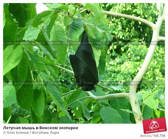 Летучая мышь в Венском зоопарке, фото № 166158, снято 26 июля 2007 г. (c) Олег Кленов / Фотобанк Лори