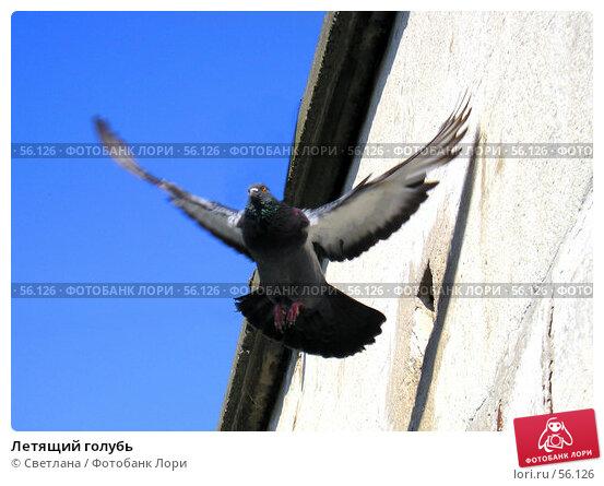 Летящий голубь, фото № 56126, снято 26 июня 2007 г. (c) Светлана / Фотобанк Лори