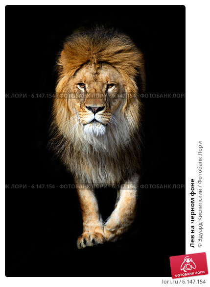 Купить «Лев на черном фоне», фото № 6147154, снято 7 января 2012 г. (c) Эдуард Кислинский / Фотобанк Лори