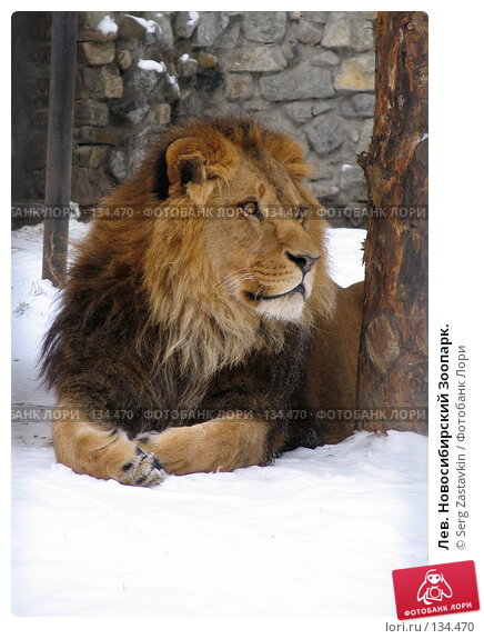 Купить «Лев. Новосибирский Зоопарк.», фото № 134470, снято 7 ноября 2004 г. (c) Serg Zastavkin / Фотобанк Лори