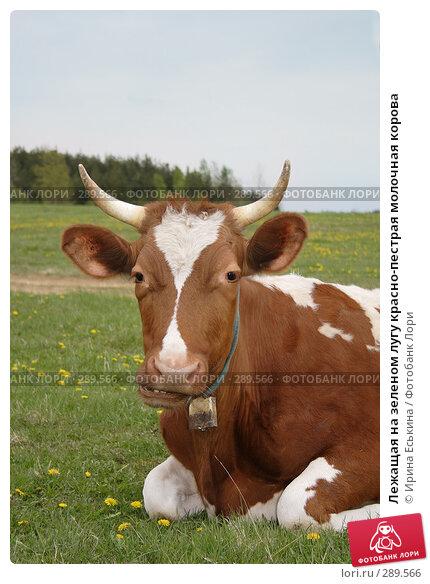 Купить «Лежащая на зеленом лугу красно-пестрая молочная корова», фото № 289566, снято 18 мая 2008 г. (c) Ирина Еськина / Фотобанк Лори