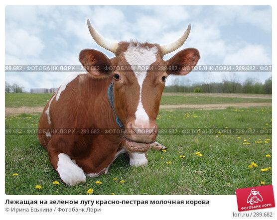Купить «Лежащая на зеленом лугу красно-пестрая молочная корова», фото № 289682, снято 18 мая 2008 г. (c) Ирина Еськина / Фотобанк Лори