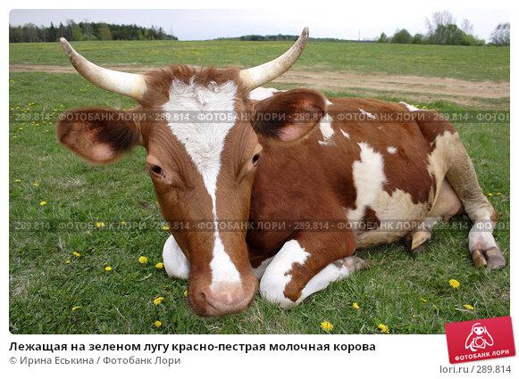 Лежащая на зеленом лугу красно-пестрая молочная корова, фото № 289814, снято 18 мая 2008 г. (c) Ирина Еськина / Фотобанк Лори
