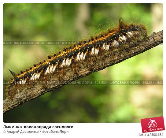 Личинка  коконопряда соснового, фото № 308634, снято 1 июня 2008 г. (c) Андрей Давиденко / Фотобанк Лори