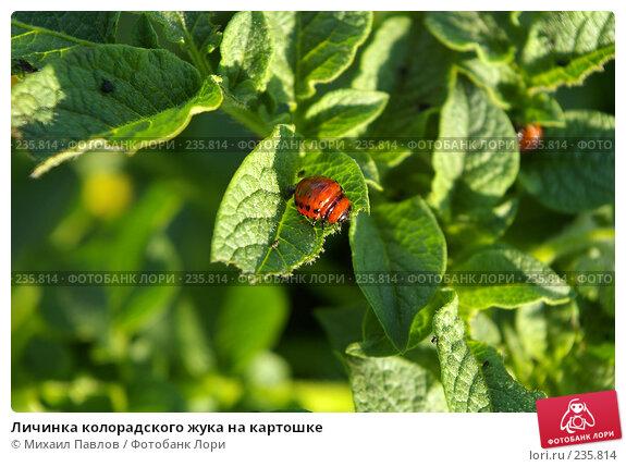 Личинка колорадского жука на картошке, фото № 235814, снято 21 июля 2007 г. (c) Михаил Павлов / Фотобанк Лори