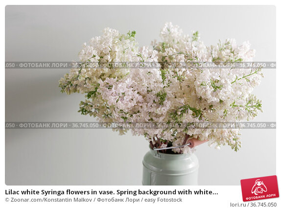 Lilac white Syringa flowers in vase. Spring background with white... Стоковое фото, фотограф Zoonar.com/Konstantin Malkov / easy Fotostock / Фотобанк Лори