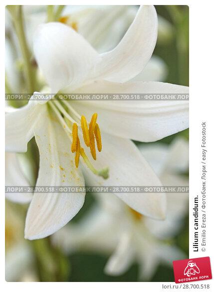 Купить «Lilium candidum.», фото № 28700518, снято 16 июня 2018 г. (c) easy Fotostock / Фотобанк Лори