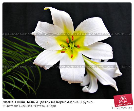Лилия. Lilium. Белый цветок на черном фоне. Крупно., фото № 303182, снято 12 июня 2007 г. (c) Светлана Силецкая / Фотобанк Лори