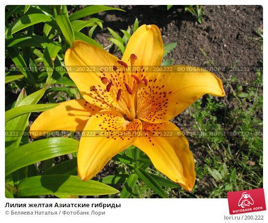 Купить «Лилия желтая Азиатские гибриды», фото № 200222, снято 8 июля 2006 г. (c) Беляева Наталья / Фотобанк Лори