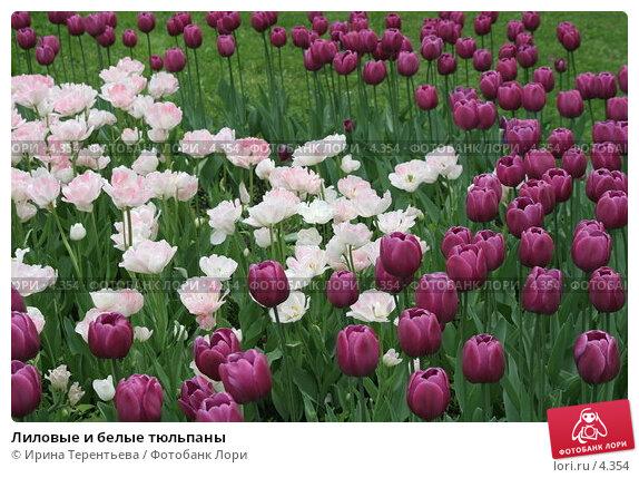 Лиловые и белые тюльпаны, эксклюзивное фото № 4354, снято 29 мая 2006 г. (c) Ирина Терентьева / Фотобанк Лори