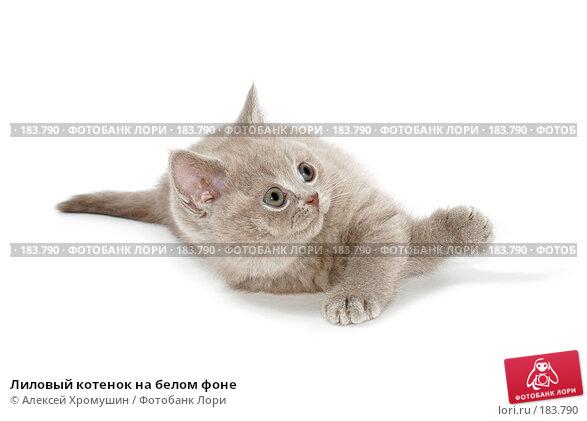 Купить «Лиловый котенок на белом фоне», фото № 183790, снято 27 октября 2007 г. (c) Алексей Хромушин / Фотобанк Лори