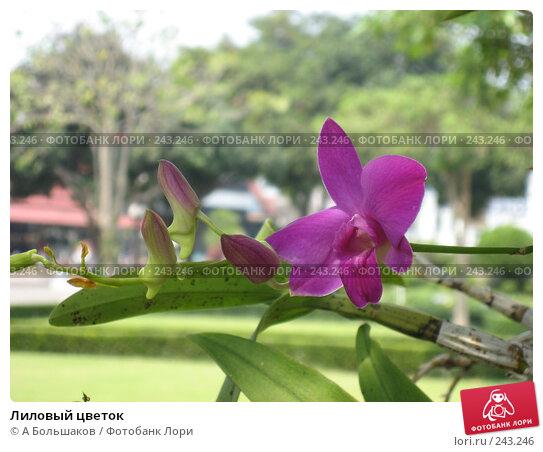 Лиловый цветок, фото № 243246, снято 5 марта 2008 г. (c) A Большаков / Фотобанк Лори