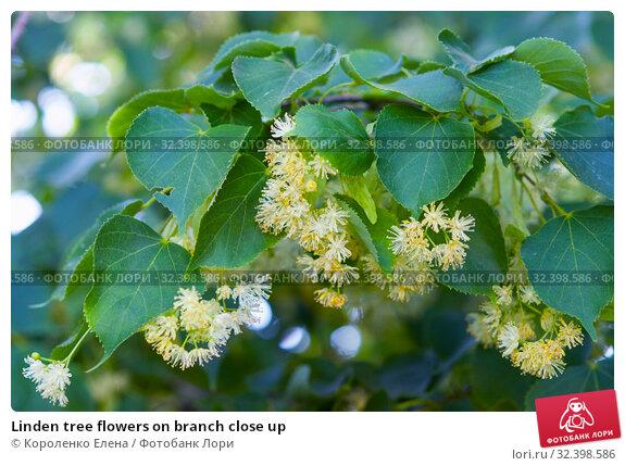 Купить «Linden tree flowers on branch close up», фото № 32398586, снято 16 июня 2019 г. (c) Короленко Елена / Фотобанк Лори