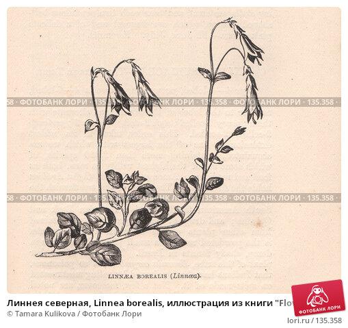 """Линнея северная, Linnea borealis, иллюстрация из книги """"Flowers of the field"""", издано в Лондоне в 1888, иллюстрация № 135358 (c) Tamara Kulikova / Фотобанк Лори"""