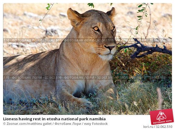 Lioness having rest in etosha national park namibia. Стоковое фото, фотограф Zoonar.com/matthieu gallet / easy Fotostock / Фотобанк Лори