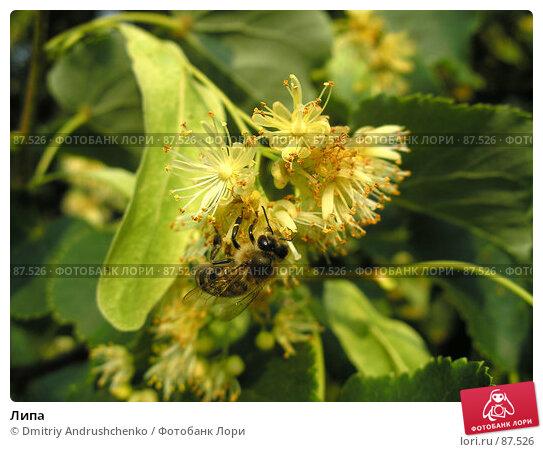 Купить «Липа», фото № 87526, снято 28 июня 2006 г. (c) Dmitriy Andrushchenko / Фотобанк Лори
