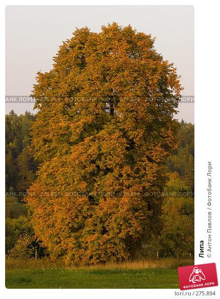 Липа, фото № 275894, снято 25 сентября 2007 г. (c) Антон Павлов / Фотобанк Лори