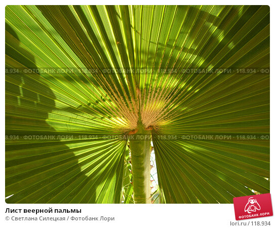 Купить «Лист веерной пальмы», фото № 118934, снято 8 августа 2007 г. (c) Светлана Силецкая / Фотобанк Лори
