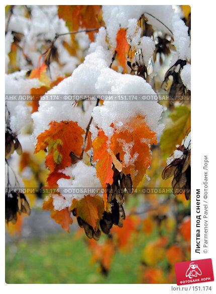 Листва под снегом, фото № 151174, снято 16 октября 2007 г. (c) Parmenov Pavel / Фотобанк Лори