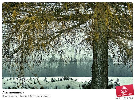 Лиственница, фото № 28098, снято 24 января 2017 г. (c) Aleksander Kaasik / Фотобанк Лори