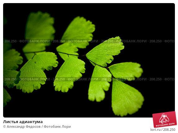 Купить «Листья адиантума», фото № 208250, снято 23 февраля 2008 г. (c) Александр Федосов / Фотобанк Лори