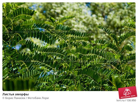 Листья аморфы, фото № 130950, снято 17 августа 2007 г. (c) Борис Панасюк / Фотобанк Лори