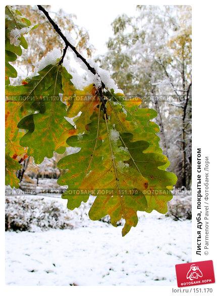 Листья дуба, покрытые снегом, фото № 151170, снято 16 октября 2007 г. (c) Parmenov Pavel / Фотобанк Лори