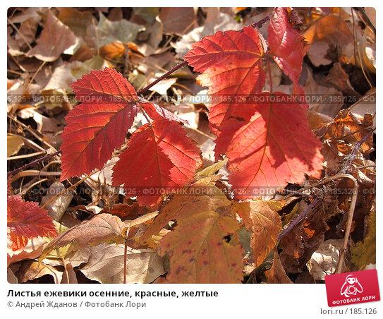 Листья ежевики осенние, красные, желтые, фото № 185126, снято 21 октября 2007 г. (c) Андрей Жданов / Фотобанк Лори
