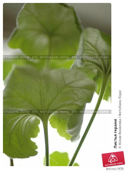 Листья герани, фото № 970, снято 25 февраля 2006 г. (c) Юлия Яковлева / Фотобанк Лори