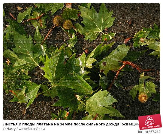 Листья и плоды платана на земле после сильного дождя, освещенные заходящим солнцем, фото № 67262, снято 23 октября 2016 г. (c) Harry / Фотобанк Лори