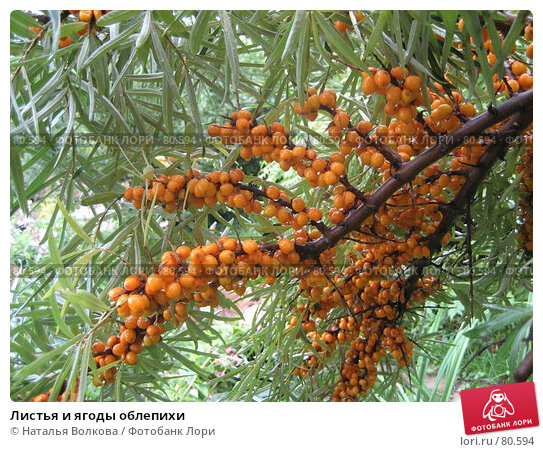 Листья и ягоды облепихи, фото № 80594, снято 19 августа 2006 г. (c) Наталья Волкова / Фотобанк Лори