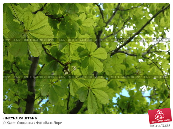 Листья каштана, фото № 3666, снято 16 мая 2006 г. (c) Юлия Яковлева / Фотобанк Лори