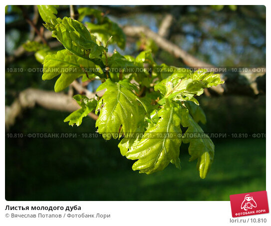 Листья молодого дуба, фото № 10810, снято 14 мая 2004 г. (c) Вячеслав Потапов / Фотобанк Лори