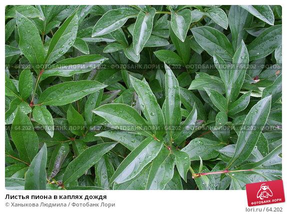 Листья пиона в каплях дождя, фото № 64202, снято 20 июля 2007 г. (c) Ханыкова Людмила / Фотобанк Лори