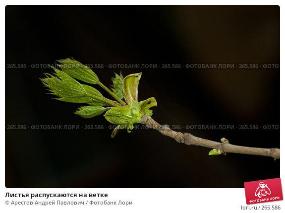Купить «Листья распускаются на ветке», фото № 265586, снято 11 апреля 2008 г. (c) Арестов Андрей Павлович / Фотобанк Лори