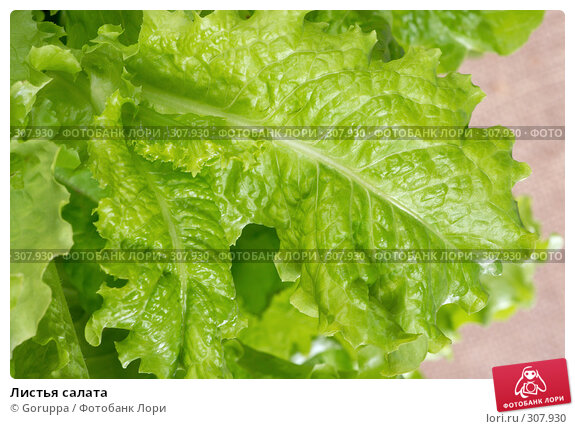 Листья салата, фото № 307930, снято 31 мая 2008 г. (c) Goruppa / Фотобанк Лори