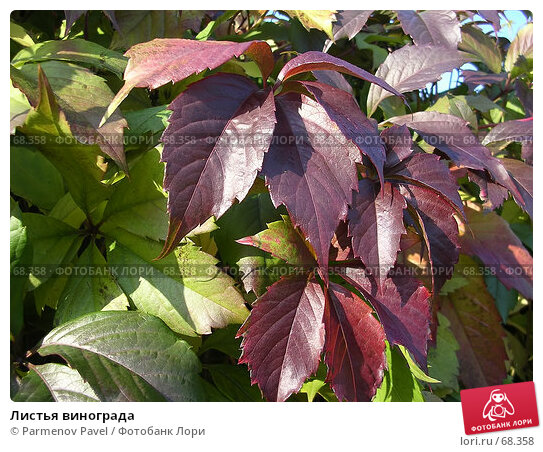 Листья винограда, фото № 68358, снято 20 сентября 2006 г. (c) Parmenov Pavel / Фотобанк Лори