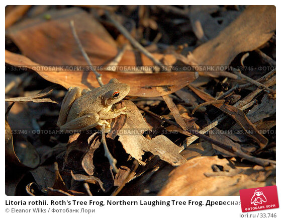 Купить «Litoria rothii. Roth's Tree Frog, Northern Laughing Tree Frog. Древесная лягушка, сидящая на опавших листьях в лучах закатного солнца.», фото № 33746, снято 7 мая 2007 г. (c) Eleanor Wilks / Фотобанк Лори