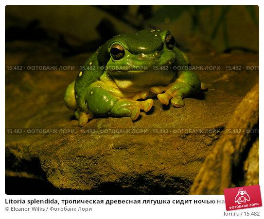 Купить «Litoria splendida, тропическая древесная лягушка сидит ночью на обломке камня», фото № 15482, снято 17 декабря 2006 г. (c) Eleanor Wilks / Фотобанк Лори