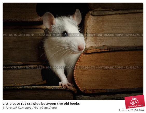 Little cute rat crawled between the old books. Стоковое фото, фотограф Алексей Кузнецов / Фотобанк Лори