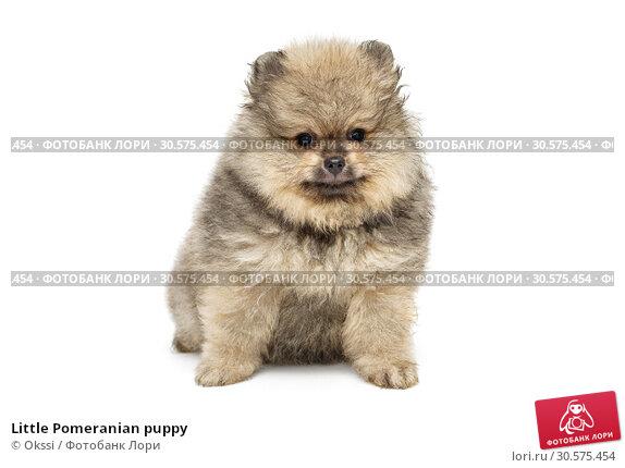 Купить «Little Pomeranian puppy», фото № 30575454, снято 10 апреля 2019 г. (c) Okssi / Фотобанк Лори