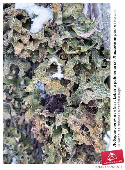 Купить «Лобария лёгочная (лат. Lobaria pulmonaria). Лишайник растет на дереве в лесу. Россия. Северная Карелия», фото № 32920514, снято 11 января 2020 г. (c) Наталья Осипова / Фотобанк Лори