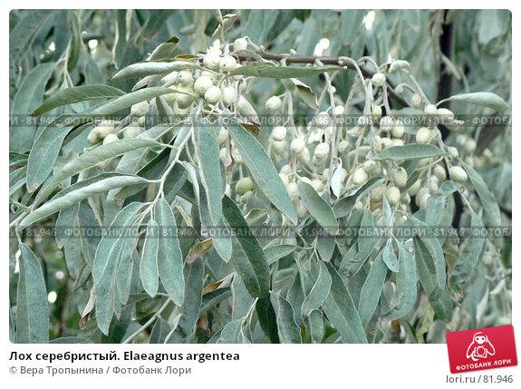 Купить «Лох серебристый. Elaeagnus argentea», фото № 81946, снято 20 апреля 2018 г. (c) Вера Тропынина / Фотобанк Лори