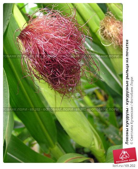 Локоны кукурузы - кукурузные рыльца на початке, фото № 69202, снято 30 апреля 2017 г. (c) Светлана Кучинская / Фотобанк Лори