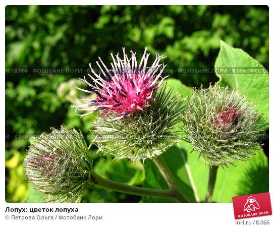 Лопух: цветок лопуха, фото № 8066, снято 7 июля 2006 г. (c) Петрова Ольга / Фотобанк Лори