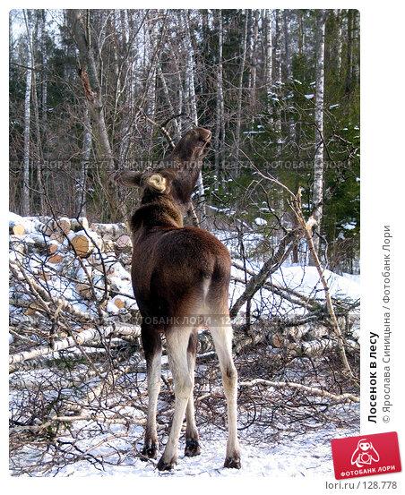 Лосенок в лесу, фото № 128778, снято 6 марта 2004 г. (c) Ярослава Синицына / Фотобанк Лори