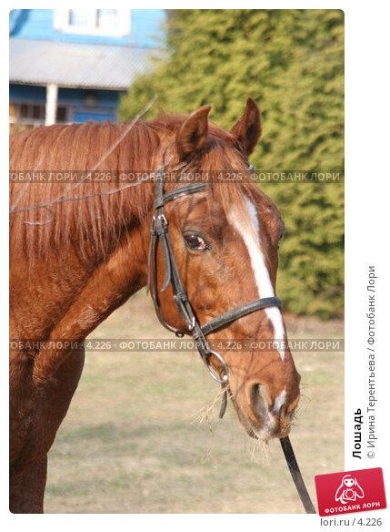 Лошадь, эксклюзивное фото № 4226, снято 1 мая 2006 г. (c) Ирина Терентьева / Фотобанк Лори