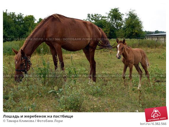 Лошадь и жеребенок на пастбище. Стоковое фото, фотограф Тамара Климова / Фотобанк Лори