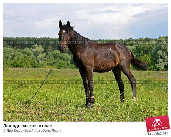 Купить «Лошадь пасется в поле», эксклюзивное фото № 602934, снято 3 июля 2008 г. (c) Яна Королёва / Фотобанк Лори