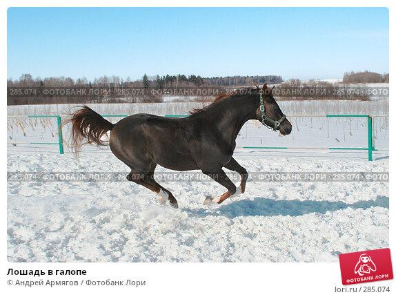Лошадь в галопе, фото № 285074, снято 24 марта 2006 г. (c) Андрей Армягов / Фотобанк Лори